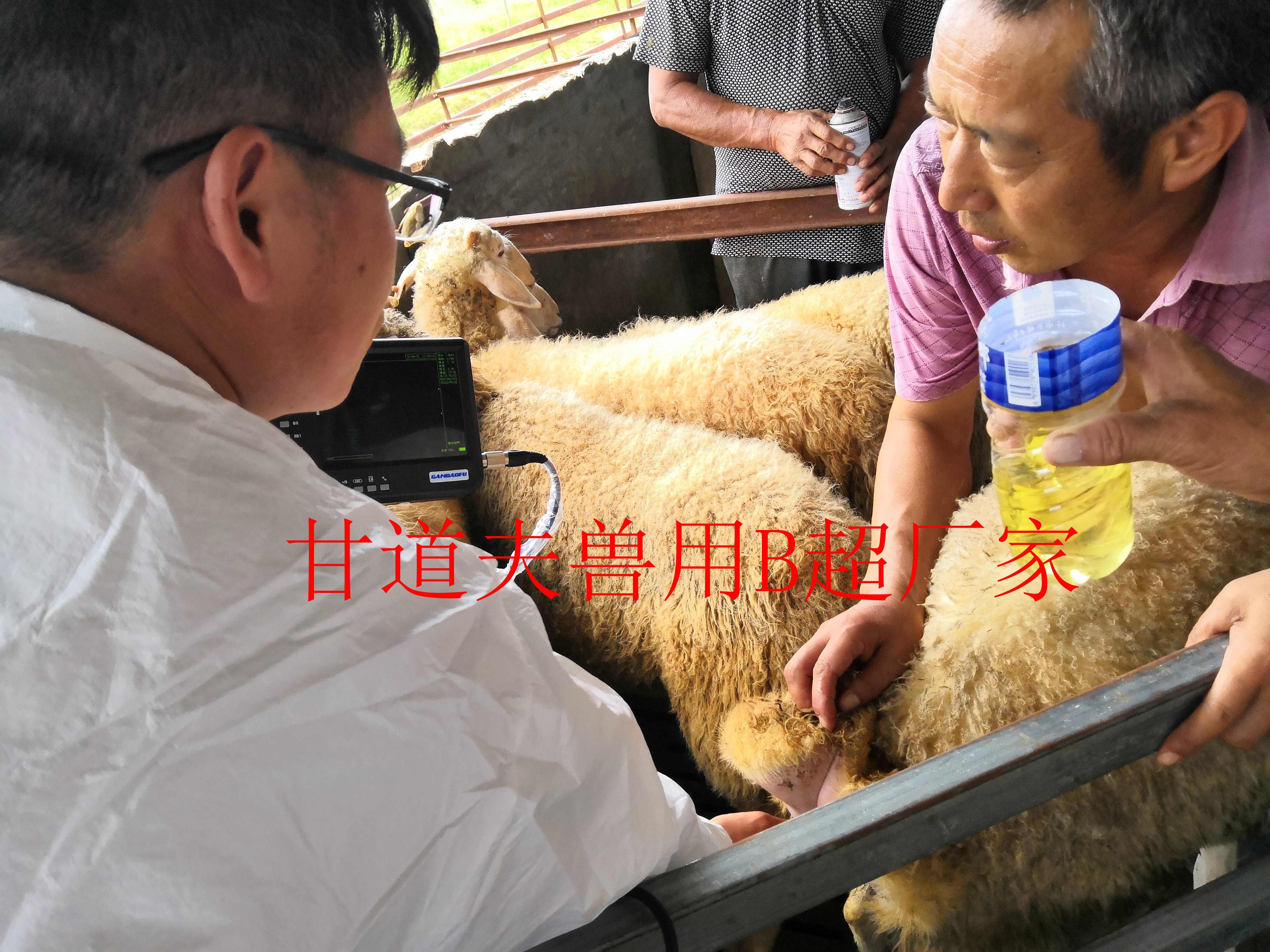 西安新天地草业羊场兽用B超使用